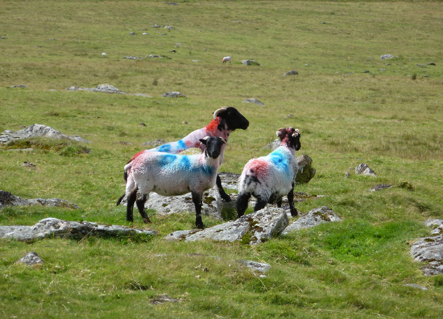 Happy New Year 2013 sheep